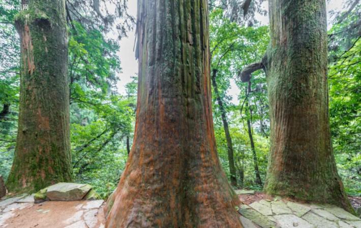 柳杉原木 柳杉檩条 柳杉领子价格