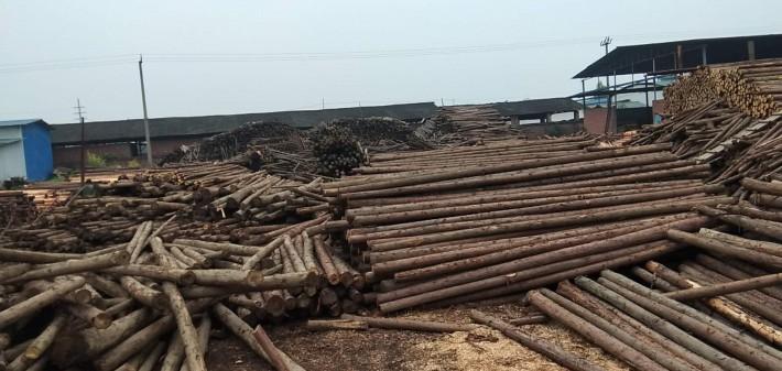柳杉绿化杆, 柳杉领子,柳杉锯材,柳杉板材