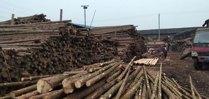 柳杉原木出售厂家