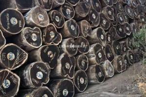 非洲黑金鸡翅木原木批发
