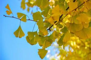 来了,最全银杏树不同时段养护要点
