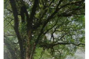 识木_柞榛木——详述一直被遗忘的红木珍宝!