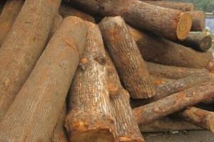 缅甸进口香樟木原木批发