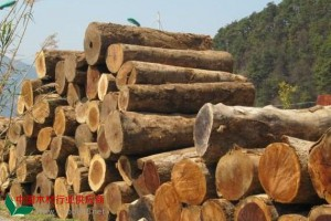 低价供应缅甸进口香樟木原木批发价格