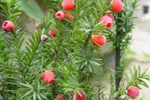 红豆杉种多少年后才能成材呢?