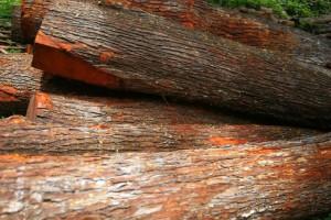 正宗印尼柚木原木厂家批发价格