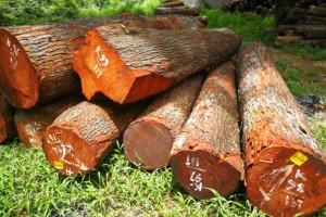 正宗印尼柚木原木厂家直供