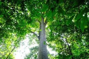 金丝楠的树叶是长年不落叶吗?