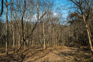 常年收树,砍树,伐树,各种杂树原木,上门承接林场