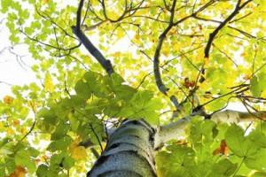 梧桐:会表情达意的树