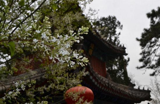 千年古刹戒台寺的古丁香是寺内十分珍贵的花木之一