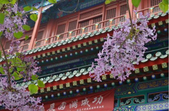 戒台寺的丁香花期一般在四月中旬至五月中旬