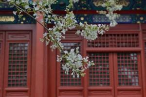 200年京城古老丁香树 近一个月来这里能看到