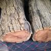 老枣木原木