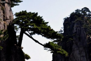 松树:傲骨挺立天地间