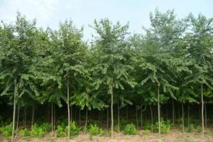 景观苗木报价白榆、沙地柏、垂榆、紫叶李、寿星桃、苦楝、含笑球