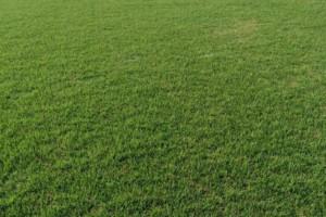 百慕大草坪,马尼拉,土培果岭草,狗牙根15961543375