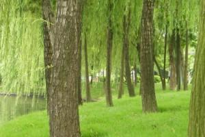 大量采购柳木原木