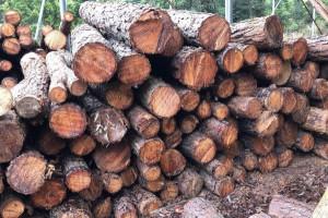 大量求购本地松木原木