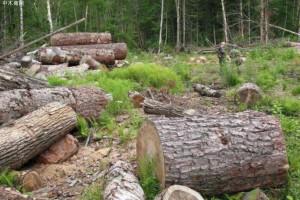 世界自然基金会称每年有超过20000平方英里的森林被非法砍伐