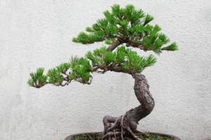 种植树桩为什么要用河沙?