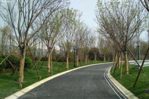 北方干旱地区夏季大树移植技术