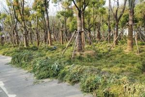 园林绿化工程树木移栽养护技术