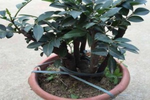 小紫叶檀盆景怎么养护?