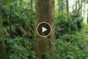 红豆杉原木