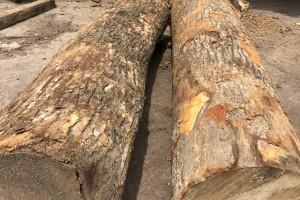 香樟木原木高清图片欣赏