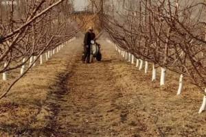 大樱桃盛果期的修剪特点及方法