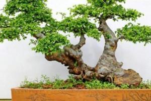 怎样让榆树长疙瘩?