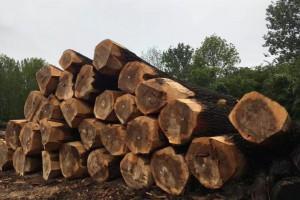 比利时白杨木原木木质漂亮,价格美丽