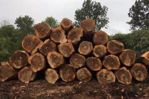 欧洲比利时杨木原木最新价格