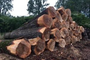 欧洲比利时白杨木原木高清图片