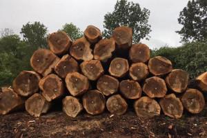 欧洲比利时杨木原木高清视频