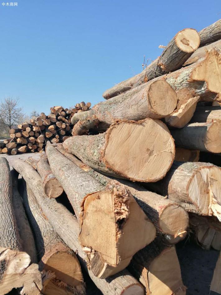 罗马里亚椴木原木价格
