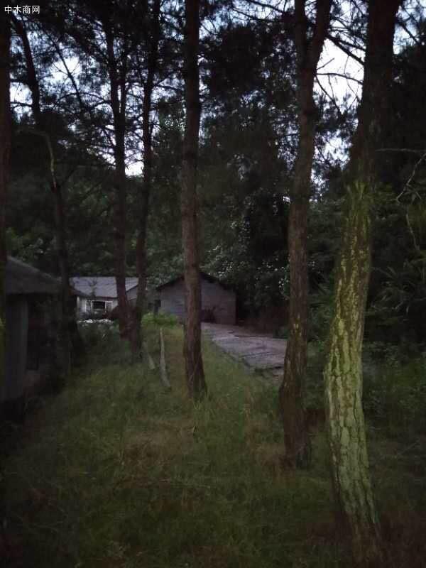 大量出售松树原木10-80公分