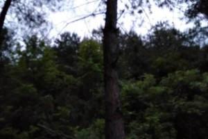 急售:松树原木10-80公分