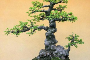 榆树盆景怎么修剪才能更有气势?