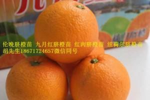 九月红脐橙苗早红脐橙苗早熟脐橙苗出售