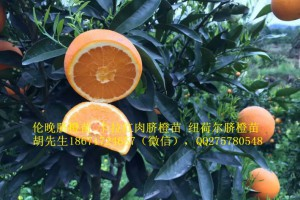 伦晚脐橙苗大量出售