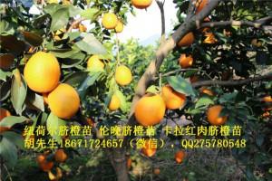 湖北纽荷尔脐橙苗大量出售