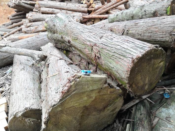 大香杉,贵州高海拔优质香杉原木