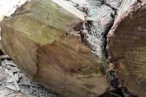 大香杉,贵州高海拔大香杉原木,规格订制!原产地直供
