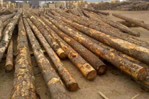求购:巴西松木原木