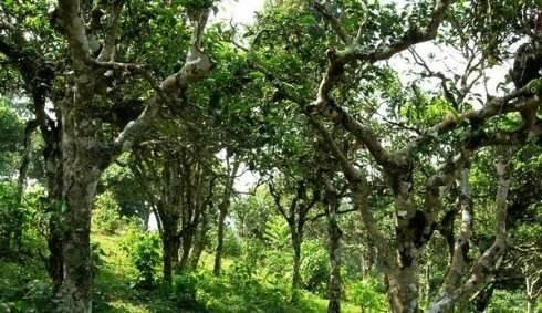 现在,我们总结一下茶树的年龄段