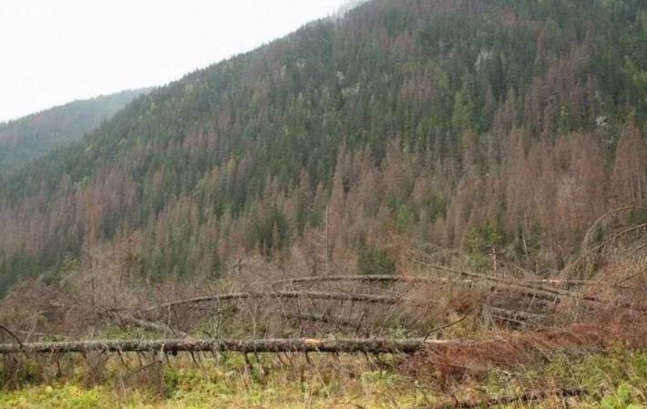 欧洲虫灾肆虐云杉供应受影响