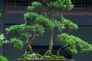 """这2种树""""镇宅""""真不错,养成盆景更值钱,寓意好家人都喜欢"""