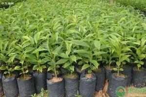 沉香树多少钱一棵?有何用途价值?沉香树种植前景分析
